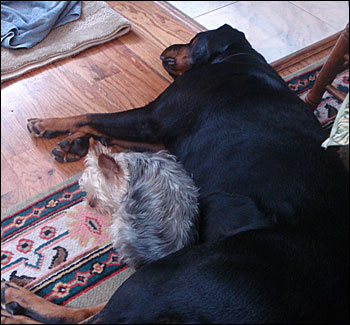 rottie and terrier sleeping
