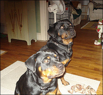 Rottweiler Breeding NJ